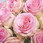 部屋に飾ると恋愛運が上がる花(2)恋に吉・凶どっちの説もある「バラ」の本当のパワーは?【恋叶天女の恋叶風水】