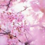 「桜」の小物やアクセを持つだけで彼氏ができる♪【タリミラのラッキーモチーフ①】